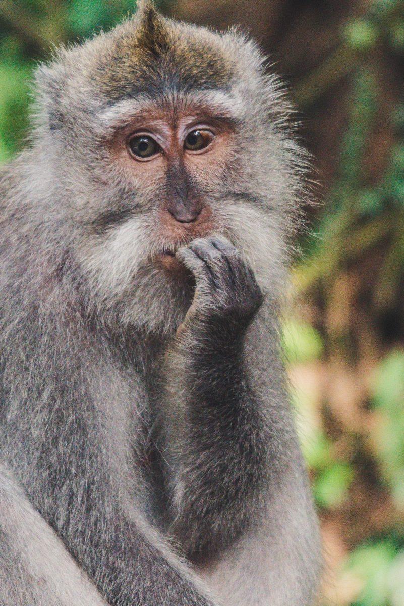 nervous chimp